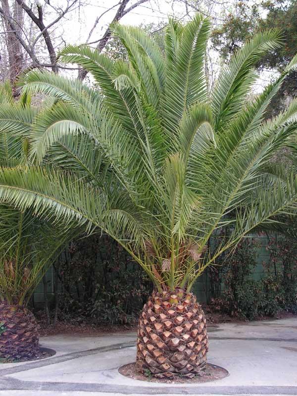 Фото домашних цветов похожих на пальму